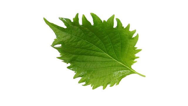 Shiso Leaves Green