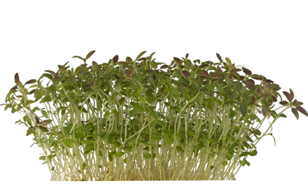Koppert Cress presenté Time Cress