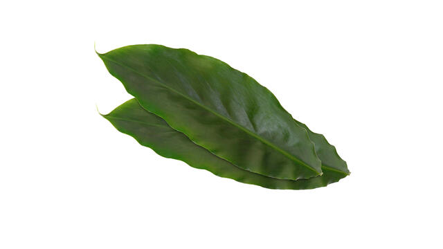 Cardamom Leaves