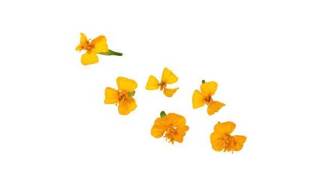 Anise Blossom