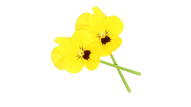 Cornabria Blossom®