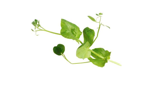 Salad Pea